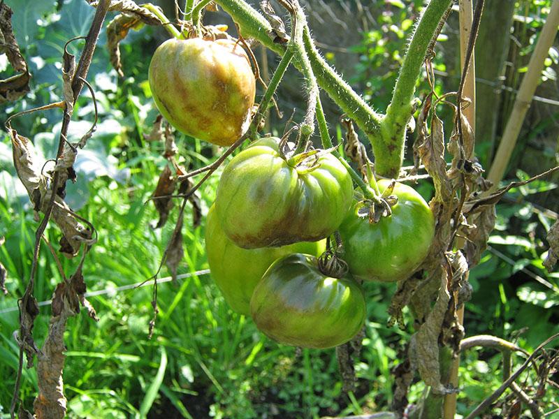 zieke-tomaten